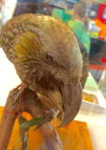 A real (but dead) kaka from Otago Museum made an appearance